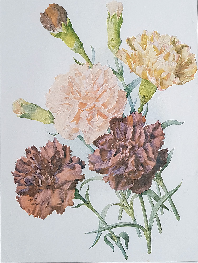 Antique Flower Prints Winter Flowering Carnations 1909