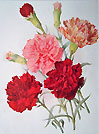 Antique print carnations
