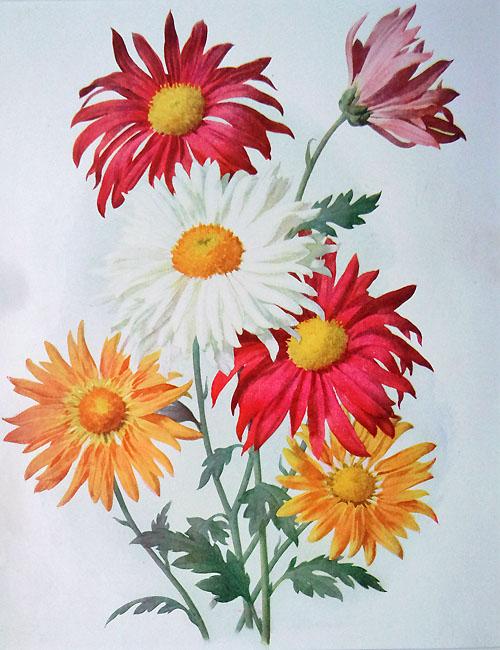 old flower print chrysanthemum