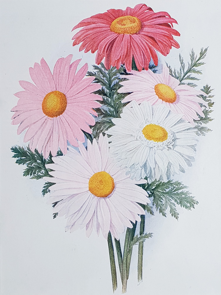 Antique flower print - Pyrethrums