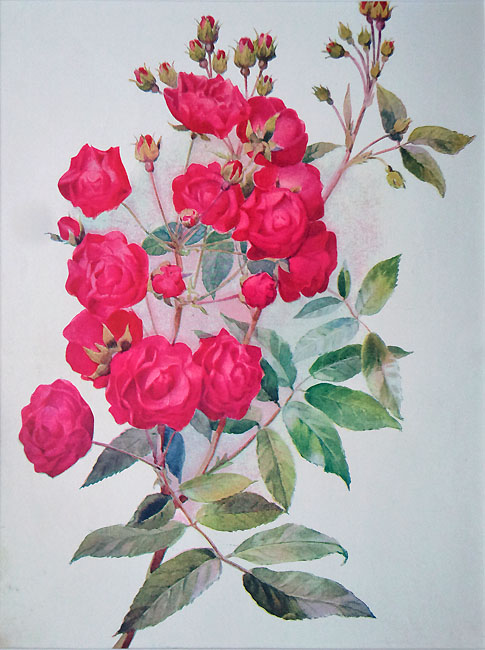 Dwarf Rose old floral prints