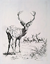 Stag etching by Hills