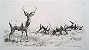 Stag etching by Hills - 19th century
